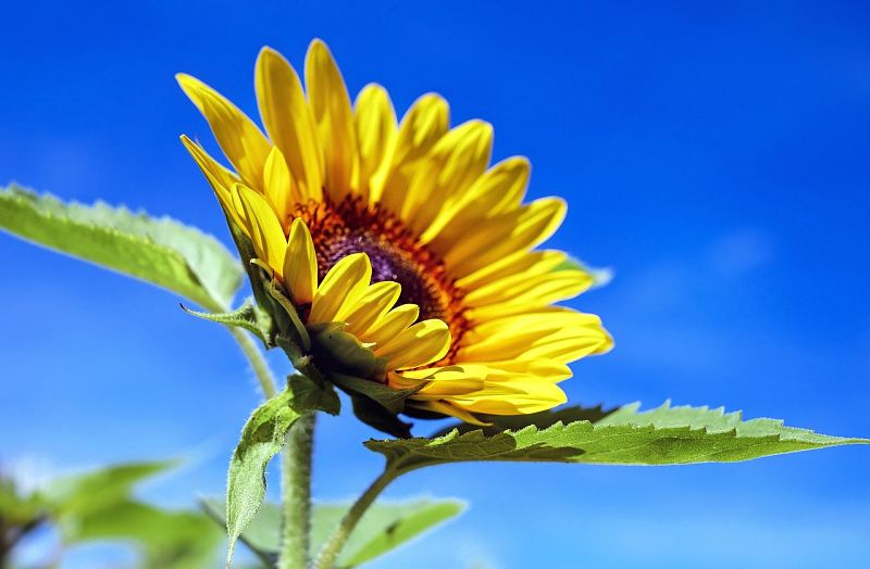 What a sunflower can teach us about connection